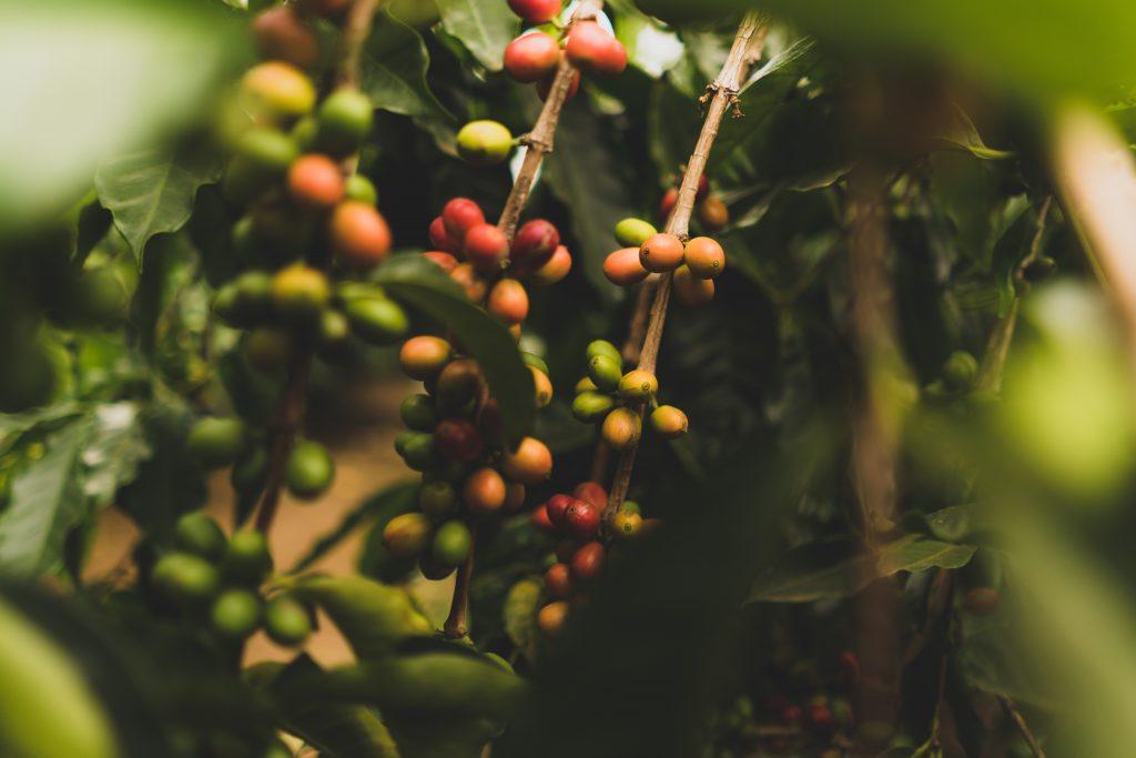 Un caféier avec des graines
